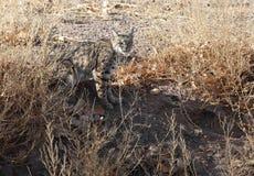美洲野猫狩猎兔子 免版税图库摄影