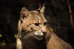 美洲野猫顶头射击 免版税库存图片