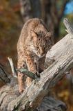 美洲野猫(天猫座rufus)从分支看下来 免版税库存照片