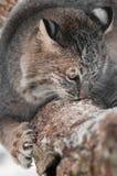 美洲野猫(天猫座rufus)嗅和爪在分支 库存照片