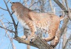 美洲野猫(天猫座rufus)在与被转动的后面的树 免版税库存图片