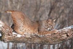 美洲野猫(天猫座rufus)在斯诺伊树枝蹲下 免版税库存照片
