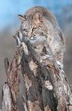 美洲野猫(天猫座rufus)在斯诺伊树桩吻合 免版税库存图片