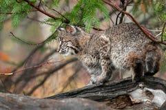 美洲野猫(天猫座rufus)在日志上面看左 免版税库存图片