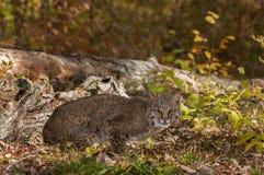 美洲野猫(天猫座rufus)在日志附近蹲下 免版税库存图片