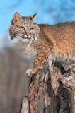 美洲野猫(天猫座rufus)在树桩启用  免版税库存照片