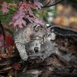 年轻美洲野猫((天猫座rufus)在秋天日志 免版税库存图片