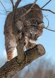 美洲野猫(天猫座rufus)从树偷偷靠近 免版税库存照片
