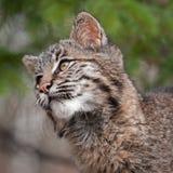 美洲野猫(天猫座rufus)看起来左特写镜头 免版税图库摄影