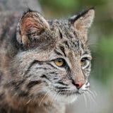 美洲野猫(天猫座rufus)看起来正确的特写镜头 免版税库存图片