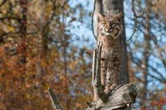 美洲野猫(天猫座rufus)站立机敏在分支 库存照片