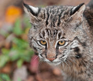美洲野猫(天猫座rufus)头 免版税库存照片