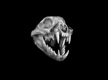 美洲野猫头骨 库存照片