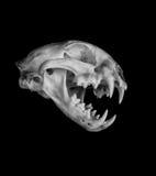 美洲野猫头骨 免版税图库摄影
