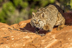 美洲野猫 库存图片
