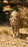 美洲野猫 图库摄影