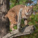 美洲野猫& x28; 天猫座rufus& x29;在分支蹲下 免版税库存图片