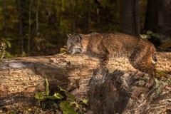 美洲野猫& x28; 天猫座rufus& x29;在日志的姿势 库存图片