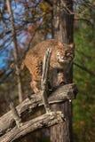 美洲野猫& x28; 天猫座rufus& x29;强光从分支 免版税库存图片