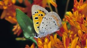 美洲铜蝴蝶 免版税库存图片