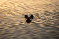 美洲鳄在镇静盐水湖表面  图库摄影