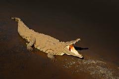 美洲鳄,湾鳄acutus,在河水的动物 从自然的野生生物场面 从河Tarcoles,肋前缘的鳄鱼 图库摄影