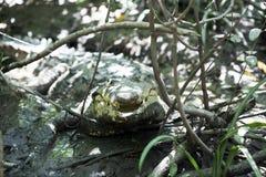 美洲鳄(湾鳄acutus)在野生生物在帕洛弗迪国家公园 库存照片