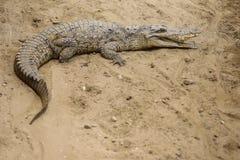 美洲鳄 库存照片