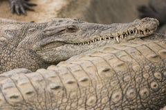 美洲鳄 图库摄影