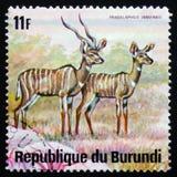 羚羊一点kudu非洲羚羊类imberbis,系列动物布鲁岛 库存图片