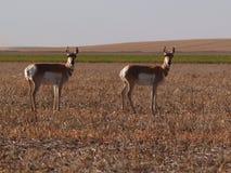 羚羊两 库存照片