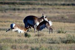 羚羊产犊护理 免版税库存图片