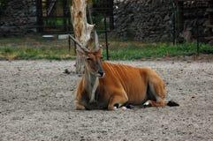 羚羊伊兰 免版税库存图片