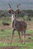 羚羊公牛kudu 免版税库存图片
