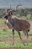 羚羊公牛kudu 免版税库存照片