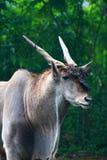 羚羊公用eland 免版税库存照片