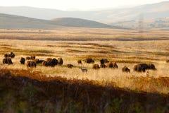 羚羊北美野牛作用  免版税库存照片