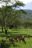 羚羊吃 免版税图库摄影