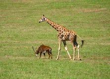 羚羊和长颈鹿走 免版税库存照片