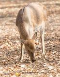 羚羊在公园 图库摄影
