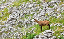 羚羊在斯洛文尼亚阿尔卑斯 库存图片