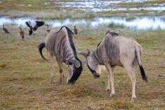 羚羊在肯尼亚战斗,牛羚,在徒步旅行队 免版税库存照片