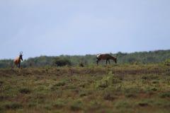 羚羊在阳光下 免版税库存照片