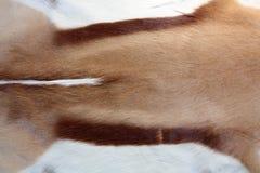 羚羊外套 免版税图库摄影