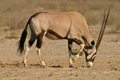 羚羊大羚羊 库存图片