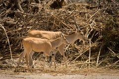 羚羊小牛eland 库存图片
