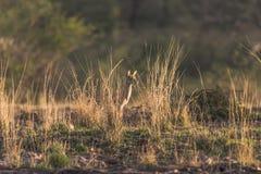 羚羊小鹿  库存照片