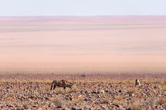 羚羊属吃草在纳米比亚沙漠的, Namib Naukluft国家公园,旅行目的地在纳米比亚,非洲 库存图片