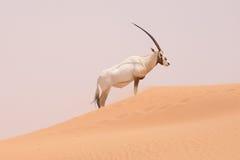 羚羊属在保护区域在迪拜沙漠-阿拉伯联合酋长国 库存图片