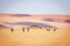 羚羊属在沙漠 库存照片